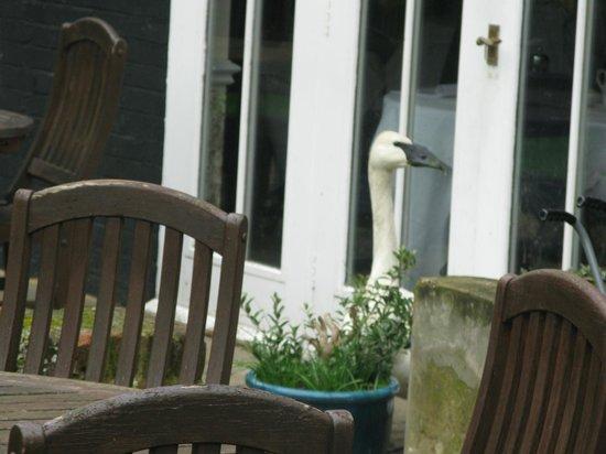 Sheene Mill: swan!