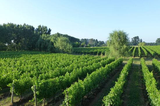 Vina Chillan :                   the winefields of vila chillan