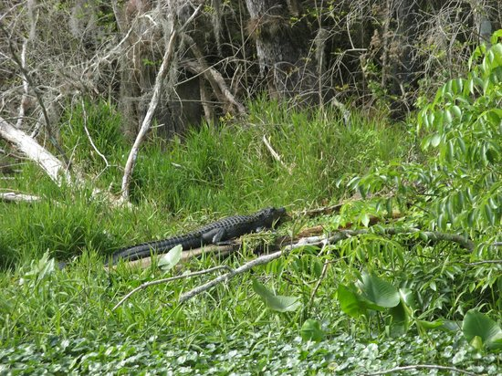 Blue Heron River Tours: classic gator shot