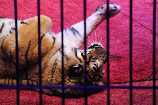 Cirque d'hiver Bouglione :                   Les tigres