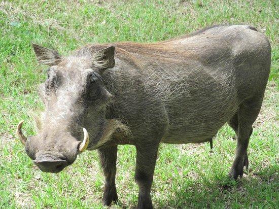 بوشويلو كوليكشن:                   Warthog walking past our room                 