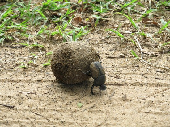 Bushwillow Collection:                   Protected Dung beetle