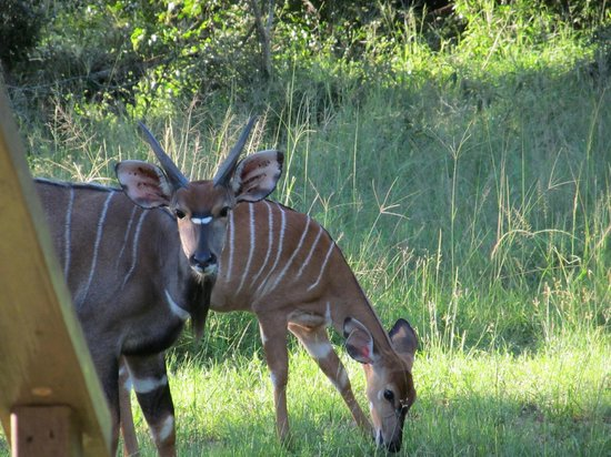 Bushwillow Collection:                   Nyala outside our room
