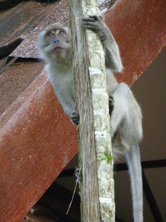 Taman Negara National Park: long-tailed macaques on the look out for anything to steal