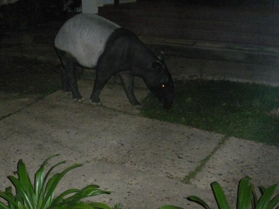 Taman Negara National Park: Tapir in the hotel grounds