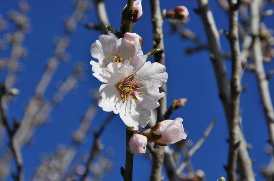 Hipotels Mediterraneo: Mandelblüte
