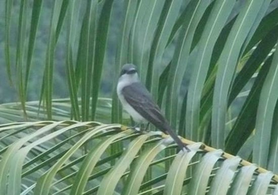Serenity Lodges Dominica: Bird that loves to pose for photo