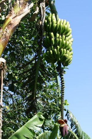 Hotel Buena Vista:                   plantains or bananas on property