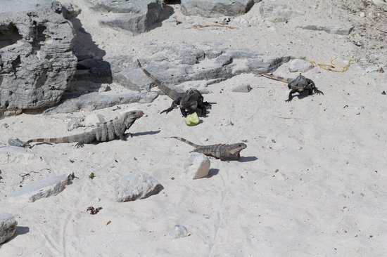 Great Parnassus Family Resort:                   Iguanas in the open area next to hotel - kids loved feeding them
