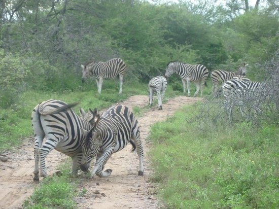 Shiduli Private Game Lodge:                   Zebras at war