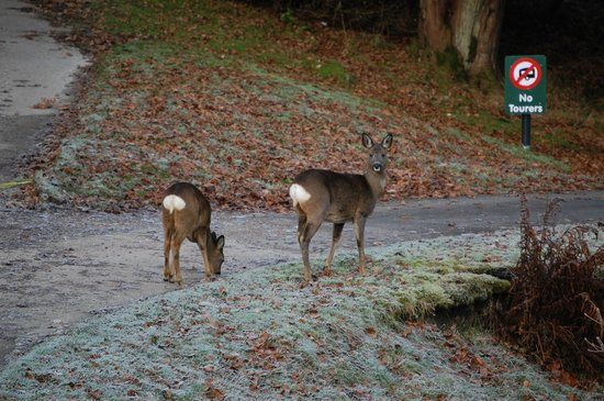 Skelwith Fold Caravan Park:                   Park resident deer