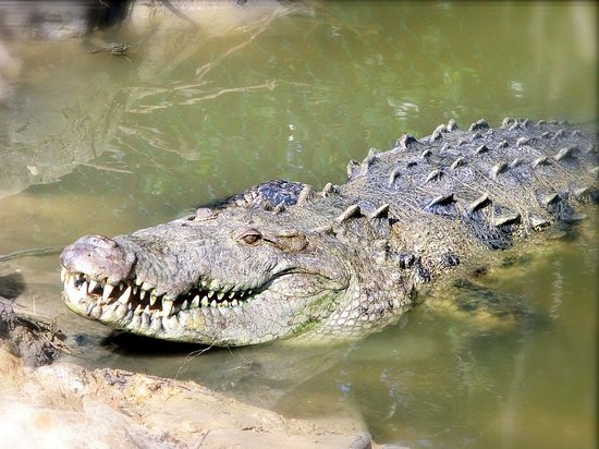 ACES Educational Crocodile Eco-Sanctuary: Meet George, Belize's largest rescued American crocodile