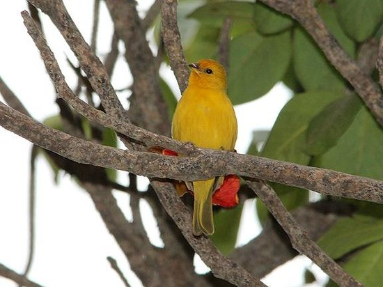 Second Home Peru:                   Saffron Finch in the Garden