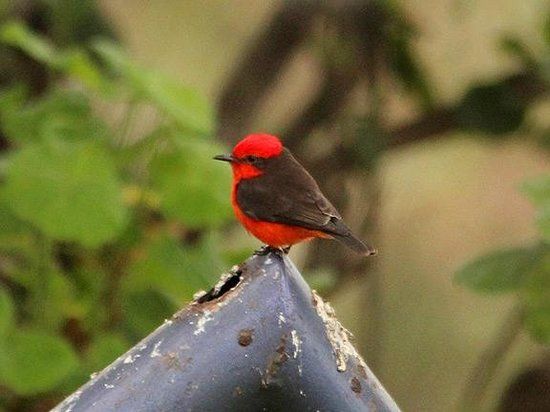 Second Home Peru:                   Vermilion Flycatcher in the Garden