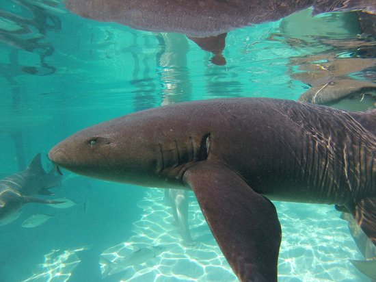 George Town, Great Exuma: Swimming with the nurse sharks at Compass Cay