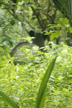 Lookout Inn Lodge:                   Endangered Baird's Tapir (Danta in Spanish)