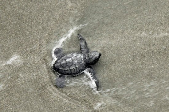 Lookout Inn Lodge:                   Endangered Green Turtle baby's first swim-its survival aided by Katya