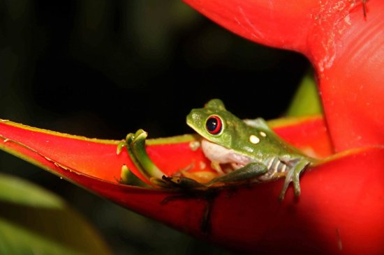 ‪ذا لوك أوت إن لودج:                   Red-eyed Tree Frog in a Heliconia blossom
