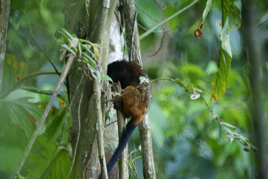 Inkaterra Reserva Amazonica: Saddle-backed Tamarind