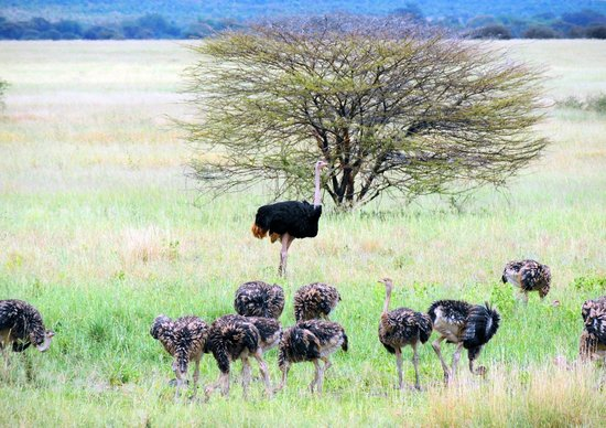 Full-Day Tarangire National Park Tour: osterich