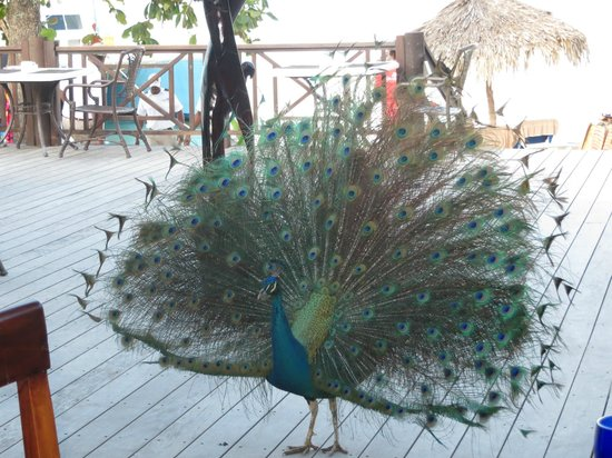 Sandals Negril Beach Resort & Spa :                   This guy is at breakfast every day