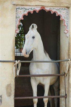 Ravla Khempur:                   One of the resident Marwari horses