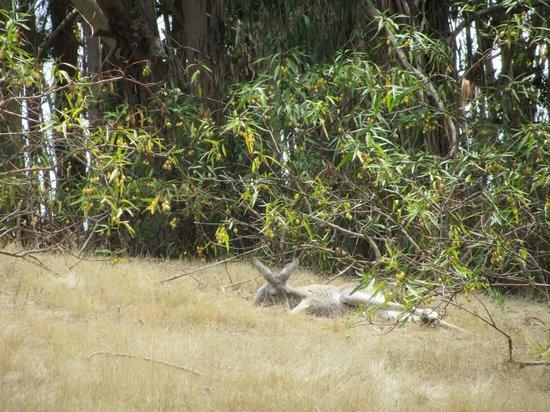 Warrawong Sanctuary :                   A sleepy kangaroo