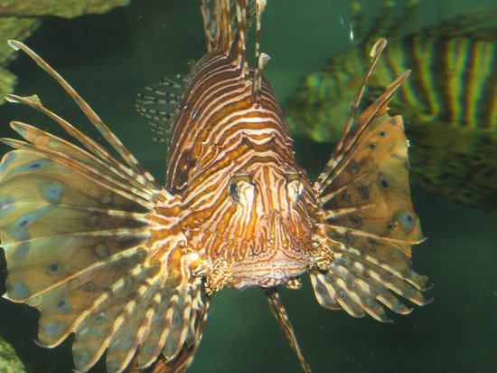 North Carolina Aquarium at Pine Knoll Shores:                   Lionhead Fish
