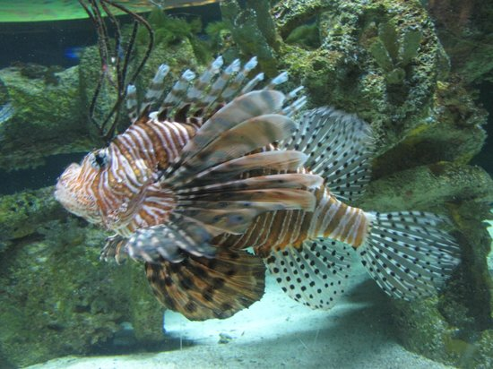 North Carolina Aquarium at Pine Knoll Shores:                   Lionhead Fish. So pretty.