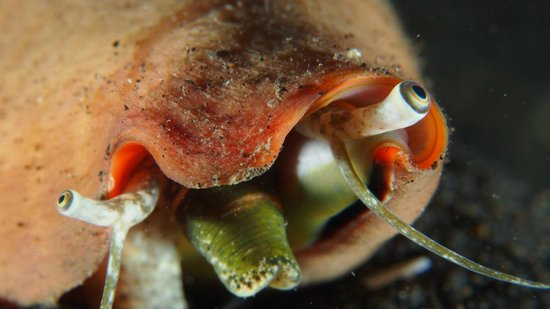 YOS Dive Lembeh: Snail