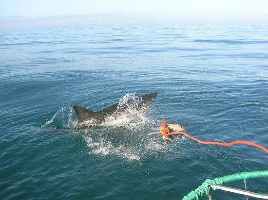 White Shark Diving - Day Tour:                   Great White Shark Cage Diving, Cape Town