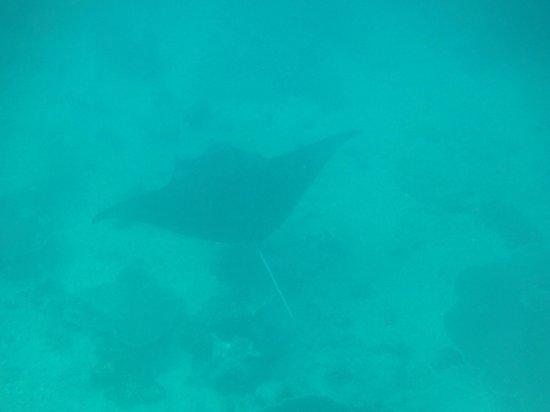 Constance Moofushi:                   manta ray