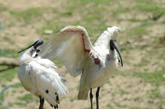 Currumbin Wildlife Sanctuary: Australian White Ibis