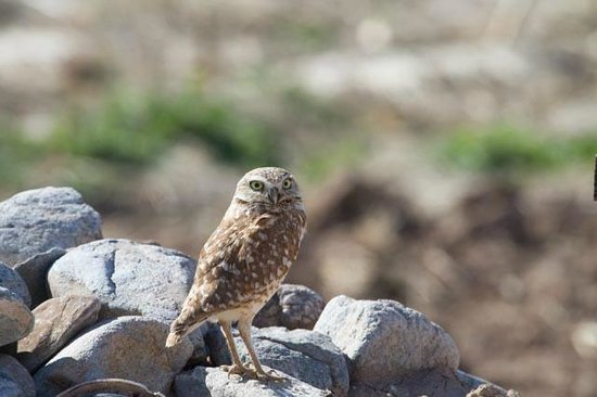 Cibola National Wildlife Refuge:                                     Burrowing Owl