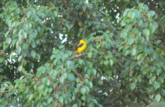 Taj Exotica Resort & Spa Goa:                   golden oriel right outside our room.