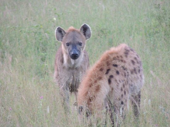 Elephant Plains Game Lodge:                   Hyena