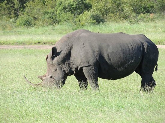 Elephant Plains Game Lodge:                   Black Rhino