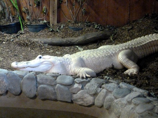 Palm Beach Zoo & Conservation Society: Marty the white alligator