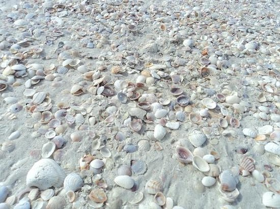 Pass-a-Grille:                   shells on beach