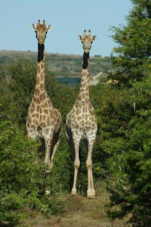 Shamwari Game Reserve Lodges:                   Sie standen einfach nur da