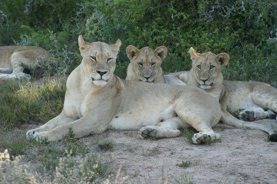 Shamwari Game Reserve Lodges:                   Eine zufriedene Löwenfamilie