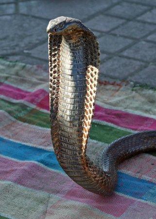 Les Deux Tours: Egyptian Cobra