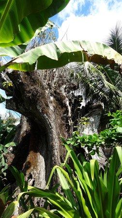 Hotel Pochote Grande: Der Baum (Pochote Grande)