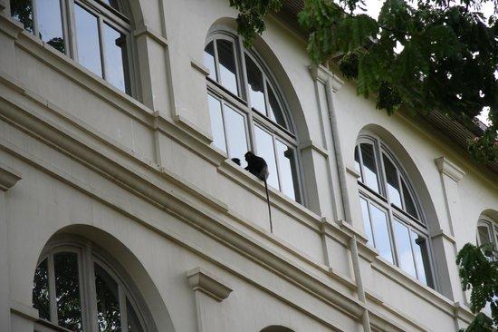 Amangalla:                   Besuch von einem neugierigen Affen