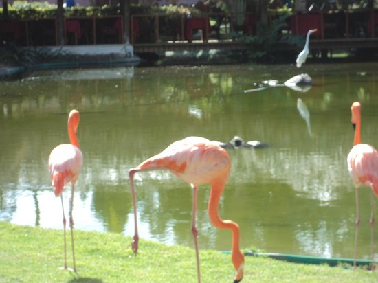 Natura Park Beach - EcoResort & Spa:                   Beautiful flamingos that grace the grounds.