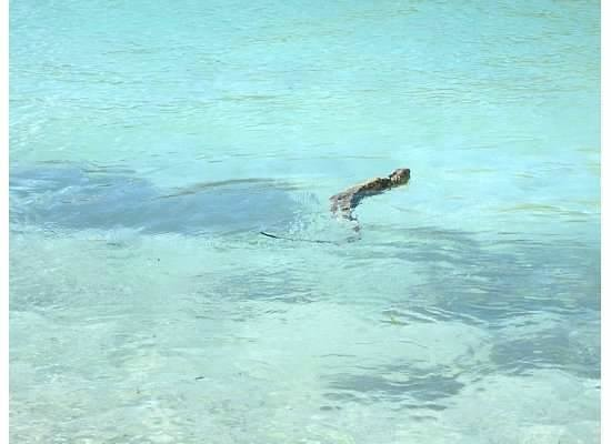 Mary Lee's by the Sea:                                     Iguanas swimming nearby