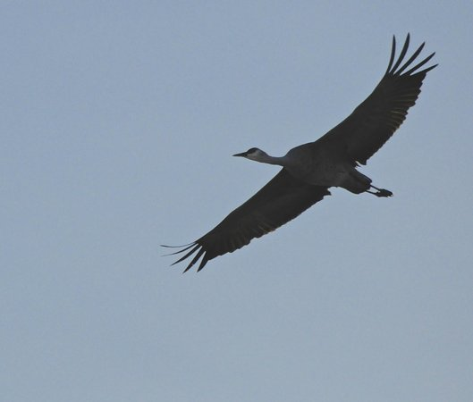 Willcox Playa Wildlife Area:                   Sandhill Crane
