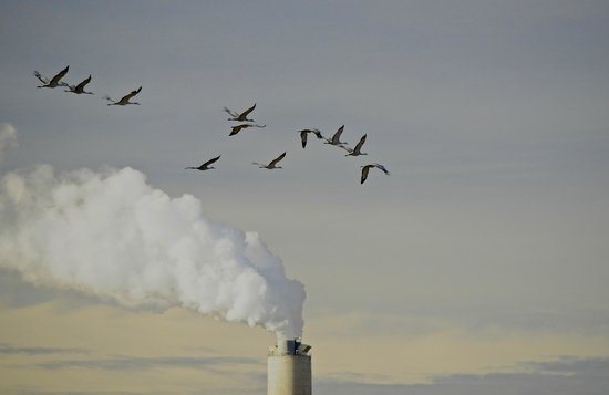 Willcox Playa Wildlife Area:                   Sandhill Cranes with AEPCO Power Plant