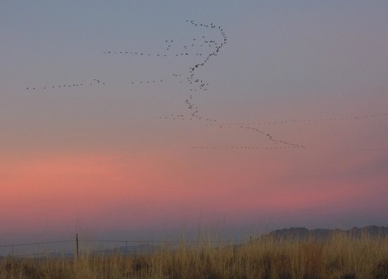 Willcox Playa Wildlife Area:                   Sandhill Cranes in Flight