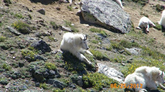 Cooke City's Elk Horn Lodge :                   Mountains Goats